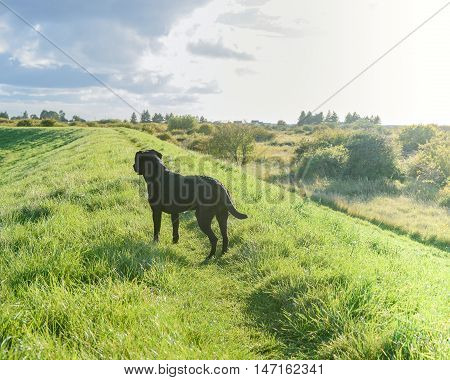 Black Labrador Retriever in grass on hill.