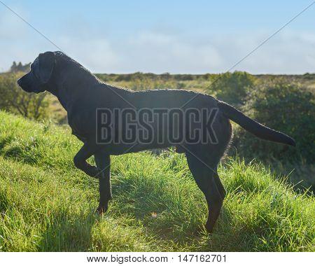 Black Labrador Retriever in grass point at a bird.