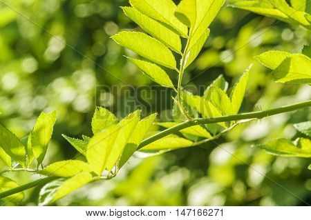 sunny illuminated translucent green leaves in blurry back