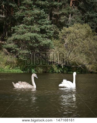 two white swan on the river in belarus