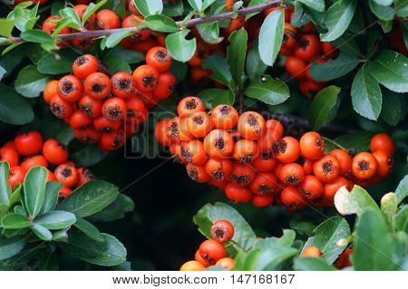 Bunches of bright autumn berries on pyracantha bush