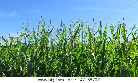 Field Of Sweetcorn