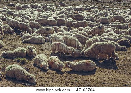 Flock of sheep resting in a sheepfold up in Bucegi Mountains Romania.