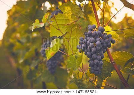 Branch Of Red Wine Grapes, Toned