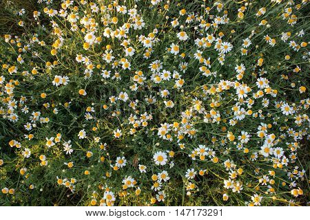 Field of camomile (Matricaria chamomilla) flowers. Flower texture.Top view