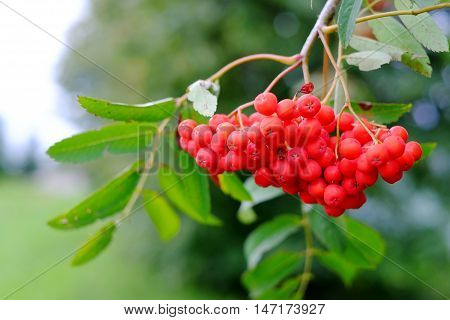 mountain ash on a branch nature, berries, tree branch green