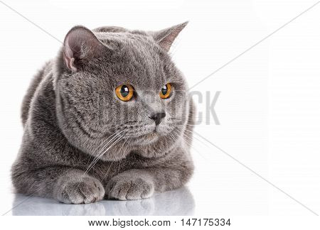 cute gray British Shorthair with brown eyes cat lying and look aside isolated on white background