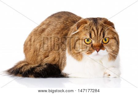 cute redhair Scottish Fold cat lying isolated on white background and look in camera