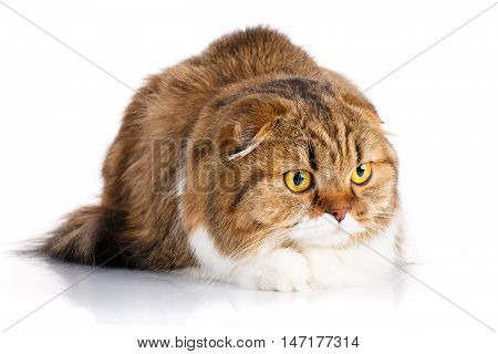 serious redhair Scottish Fold cat lying isolated on white background