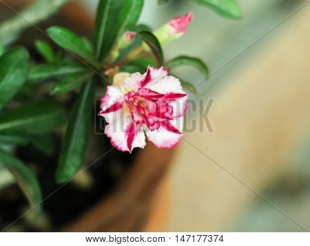 White and pink desert rose or impala lily or mock azalea (Adenium obesum)