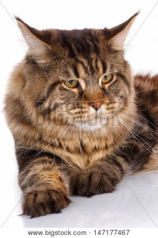 portrait Maine Coon cat With long brown wavy hair, lying in front of white background