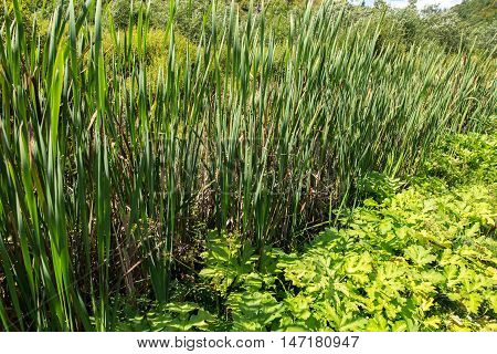 Bulrush. Marsh Plants.