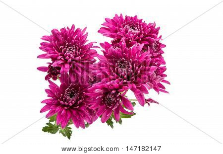 chrysanthemum spring color flower on white background