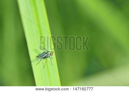 shiny colored insect perched on grass very similar body shape like a mosquito. Condylostylus (dolichopodidae)
