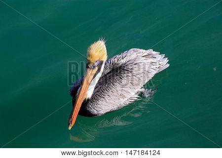 Grey pelican floating in ocean looking ahead