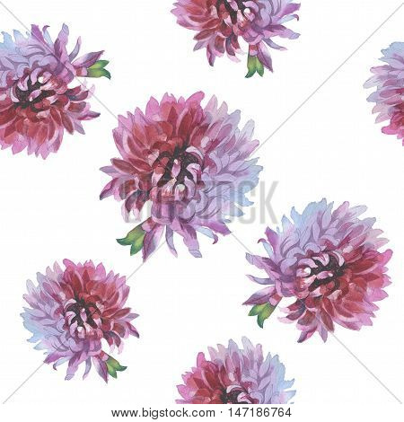 Wildflower flower chrysanthemum pattern in a watercolor style. Full name of the herb: chrysanthemum, dahlia. Aquarelle flower could be used for background, texture, pattern, frame or border.