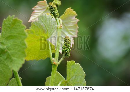 Vine Sprout With Young Bunch Of Grapes