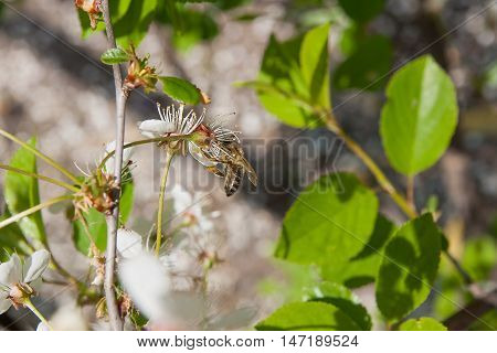 Bee Collects Nectar And Pollen On A Blossoming Cherry Tree Branch.