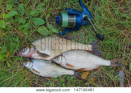 Common Bream Fish And Two Roach Fish On The Natural Background. Catching Freshwater Fish And Fishing