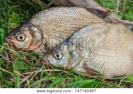 Close Up View Of Two Common Bream Fish On Green Grass. Catching Freshwater Fish On Natural Backgroun