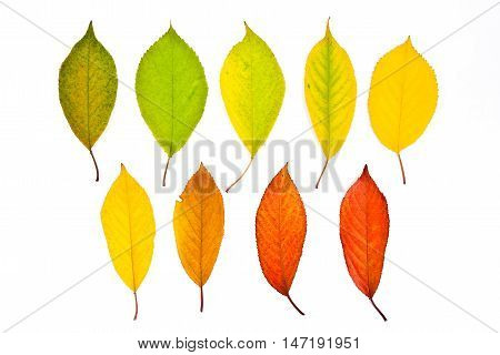 Collection Autumn Leaves Of Cherry Tree Isolated On White. With Clipping Path.