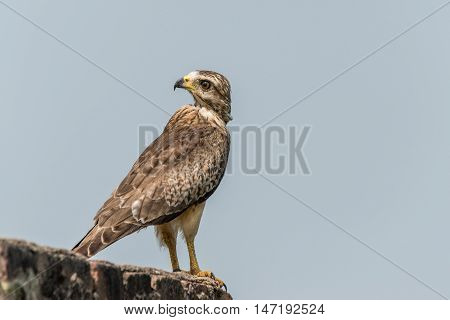 White Eyed Buzzard perched for portrait isolated with blue sky