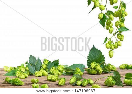 Isolated hops on the white background, Czech Hops