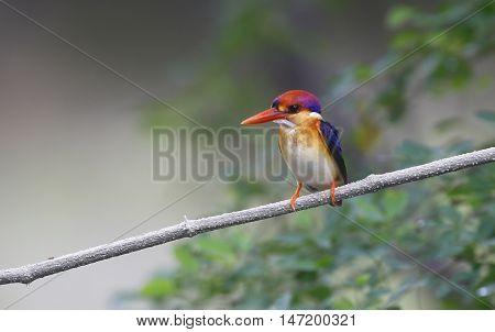 Dwarf Kingfisher (Ceyx erithaca) in nature at Kengkrajarn national park,Thailand