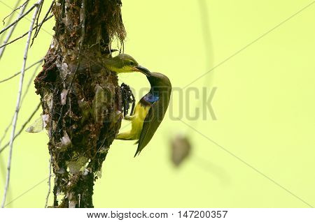 Brown-throated Sunbird (Anthreptes Malacensis) is feeding their baby .