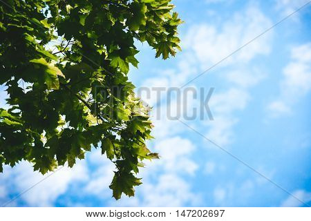 Green leaves on maple tree against clear blue sky