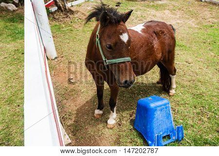 Mini Dwarf Horse At A Farm