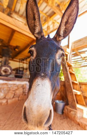 Funny Farm Donkey With Long Ears