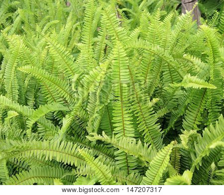 Background and texture of fern leaves. Fern in the garden.