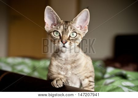 Funny Devon Rex kitten is looking what is going on. Cat portrait with curiosity expression. Home pets