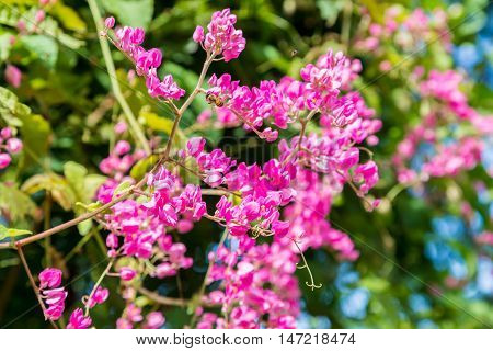 bunches of lilac pink flowers on tropical vine with green leaves and bees
