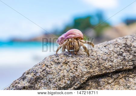 funny, big, beautiful tropical hermit crab on a rock on the beach against the blue sea