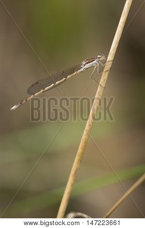 Brown Emerald Damselfly (Sympecma fusca) resting on a stem