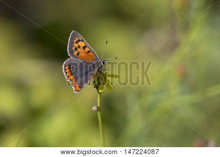 Small Copper (Lycaena phlaeas) butterfly extracting nectar from a flower
