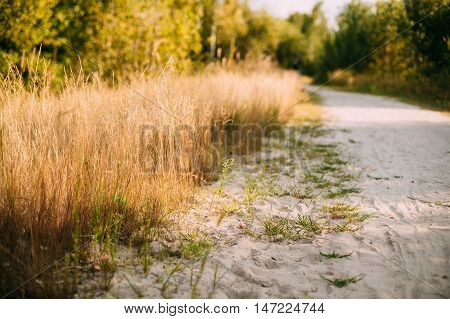 Rural Countryside White Sandy Road Going Ahead Along The Growing Yellow Thick Grass In Sunny Day.
