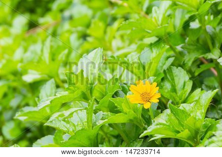tiny yellow flower and green leaves garden