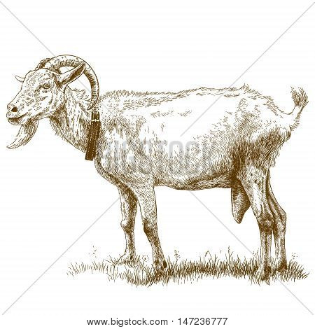 Vector antique engraving illustration of goat isolated on white background