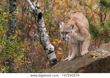 Adult Male Cougar (Puma concolor) Looks Out from Rock - captive animal