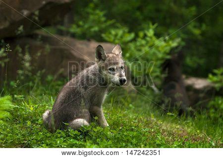 Grey Wolf (Canis lupus) Pup Looks Back - captive animal
