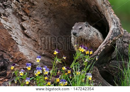 Young Woodchuck (Marmota monax) Looks Out from Inside Log - captive animal