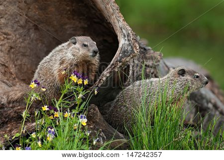 Young Woodchucks (Marmota monax) Look Right from Log - captive animals