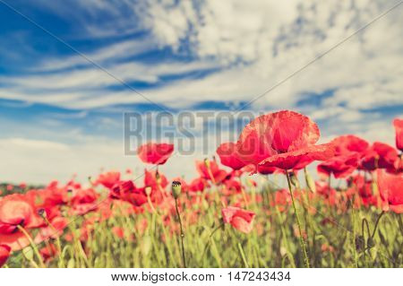 Poppy flowers retro vintage summer background shallow depth of field with red flowers over green background. Meadow with beautiful bright red poppy flowers in spring.