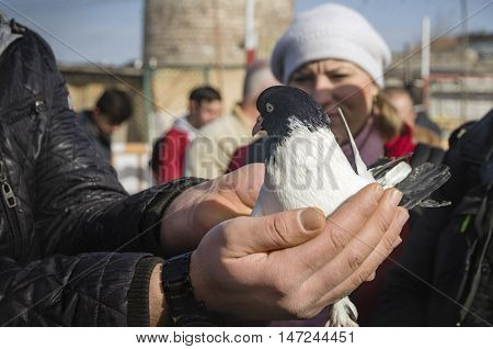 Istanbul Turkey - January 25 2015: In the bird market fluttering dove on hand. Domestic pigeons.