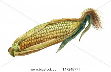Corn, maize. Hand drawn watercolor painting on white background.