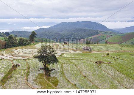 Green Terraced Rice Field rainy season in Pa Pong Pieng Mae Chaem Chiang Mai Thailand