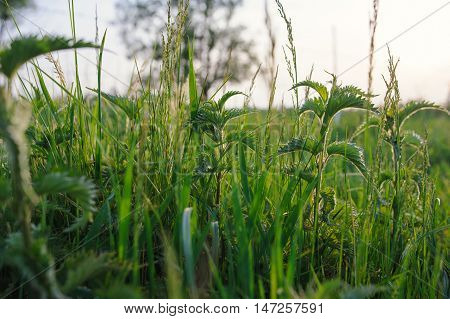Nettle Plant In Field.